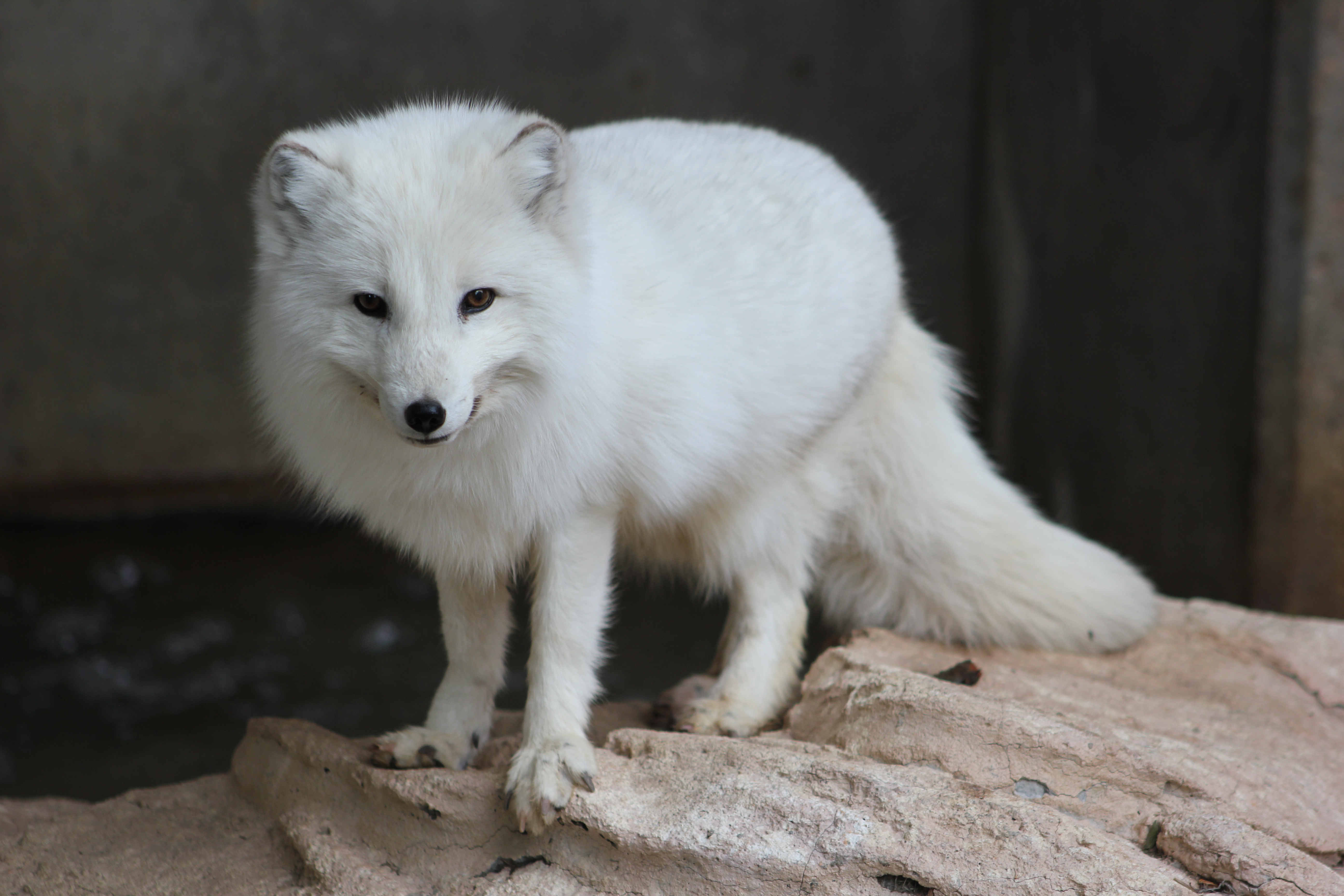 Песец: фото, описание, места обитания, образ жизни животного