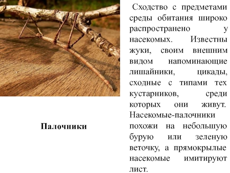 Палочники: ареал обитания, внешний вид, образ жизни