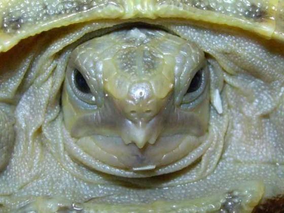 Как открыть рот черепахе. что делать, если черепаха не ест? у черепахи не открывается рот