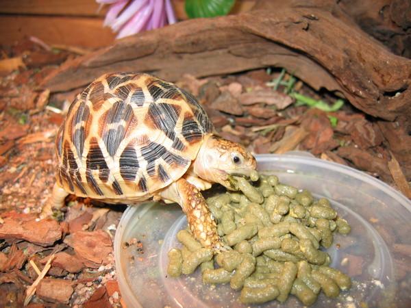 Чем в домашних условиях кормить сухопутную черепаху?