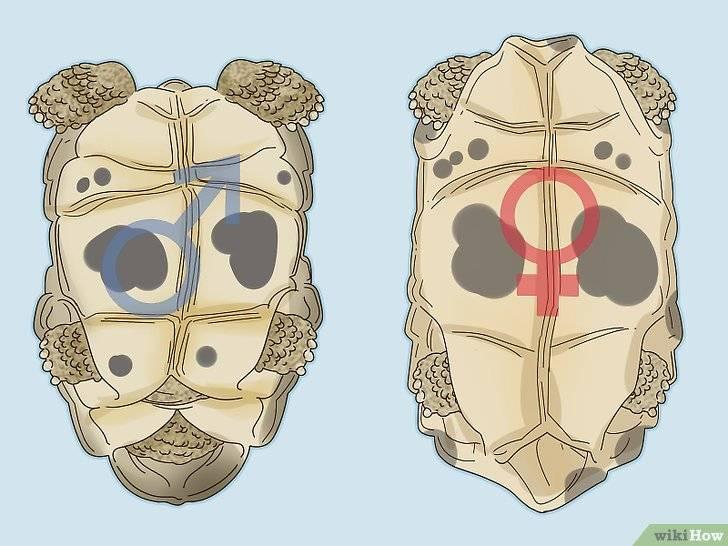 Как размножаются черепашки красноухие