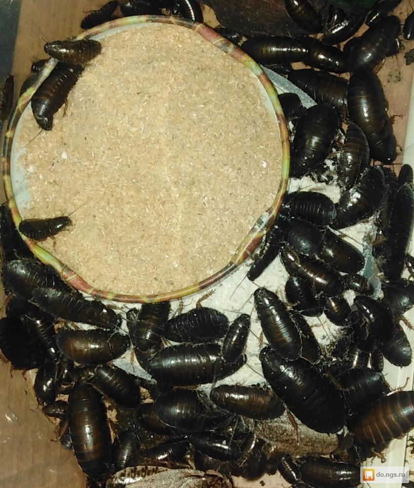 Мраморные тараканы