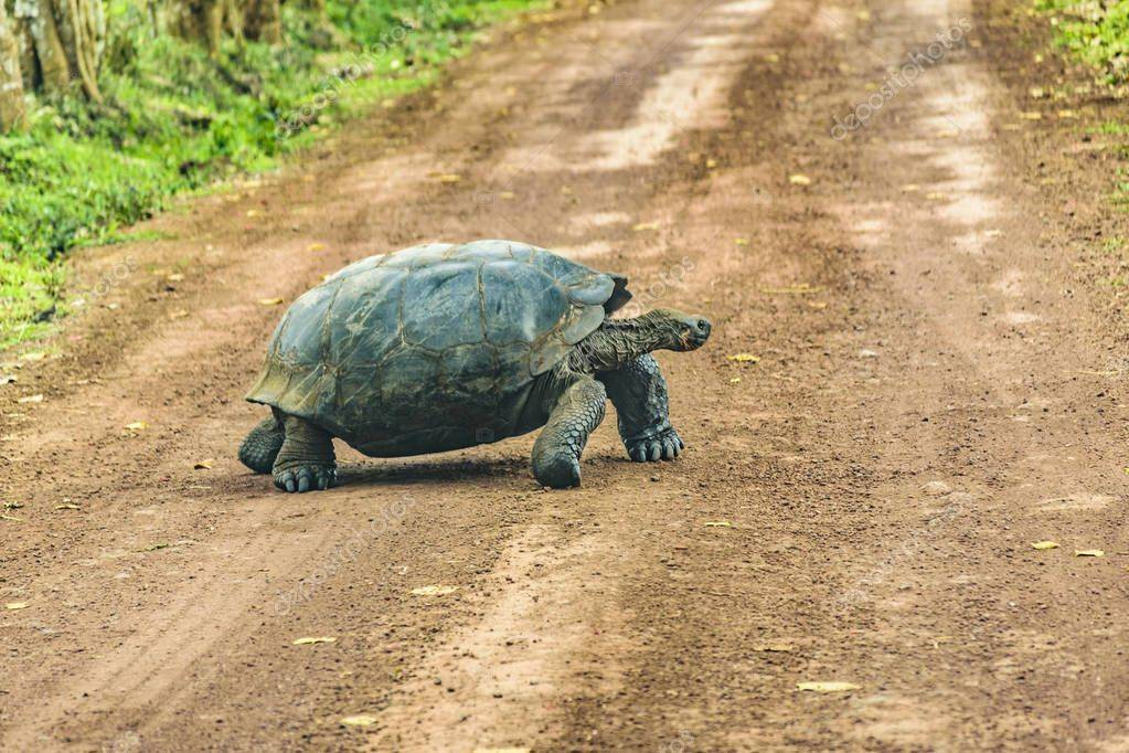 Chelonoidis carbonaria (красноногая черепаха, угольная черепаха) - черепахи.ру - все о черепахах и для черепах