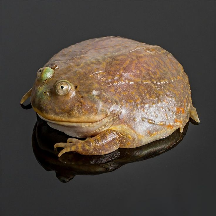 Лягушка Баджита или злая щитоспинка