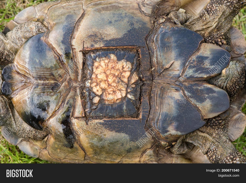 Болезни и инфекции сухопутных черепах