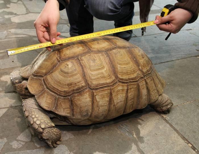 Как определить пол у красноухих черепах