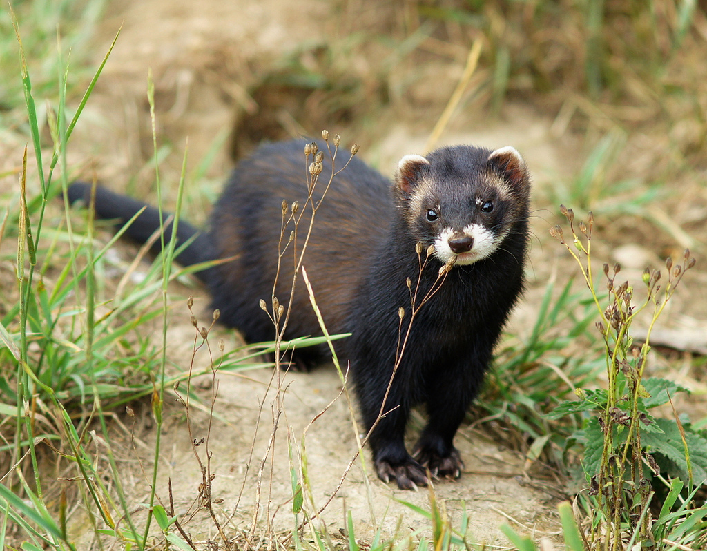 25+ фото хорьков: как выглядит животное
