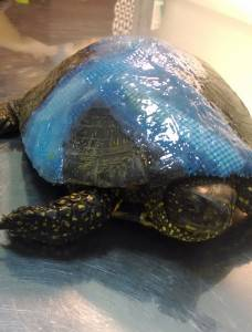Треснул панцирь у черепахи идет кровь. что делать, если у черепахи треснул панцирь? причины трещин на панцире