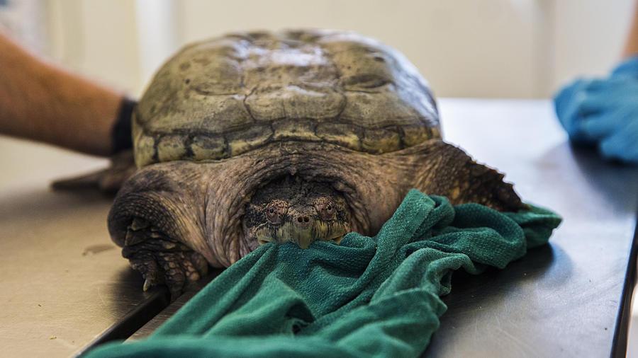 Почечная недостаточность у черепахи - ветеринарные клиники ситивет
