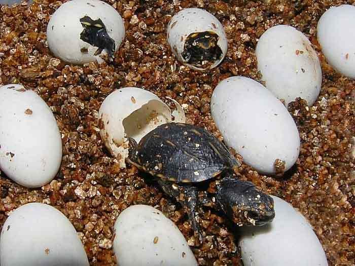 Европейская болотная черепаха — википедия. что такое европейская болотная черепаха