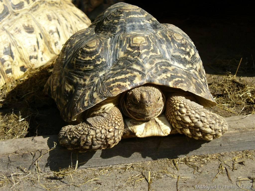 Пантеровая черепаха википедия