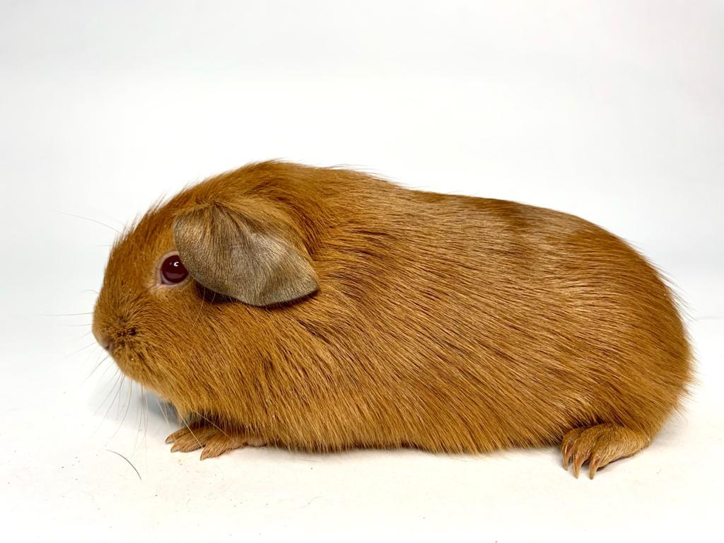Что нужно знать о морской свинке породы английский селф?