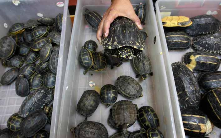 Как перевозить черепаху? простые правила перевозки1 min read. как перевезти черепаху зимой можно ли в самолет черепаху