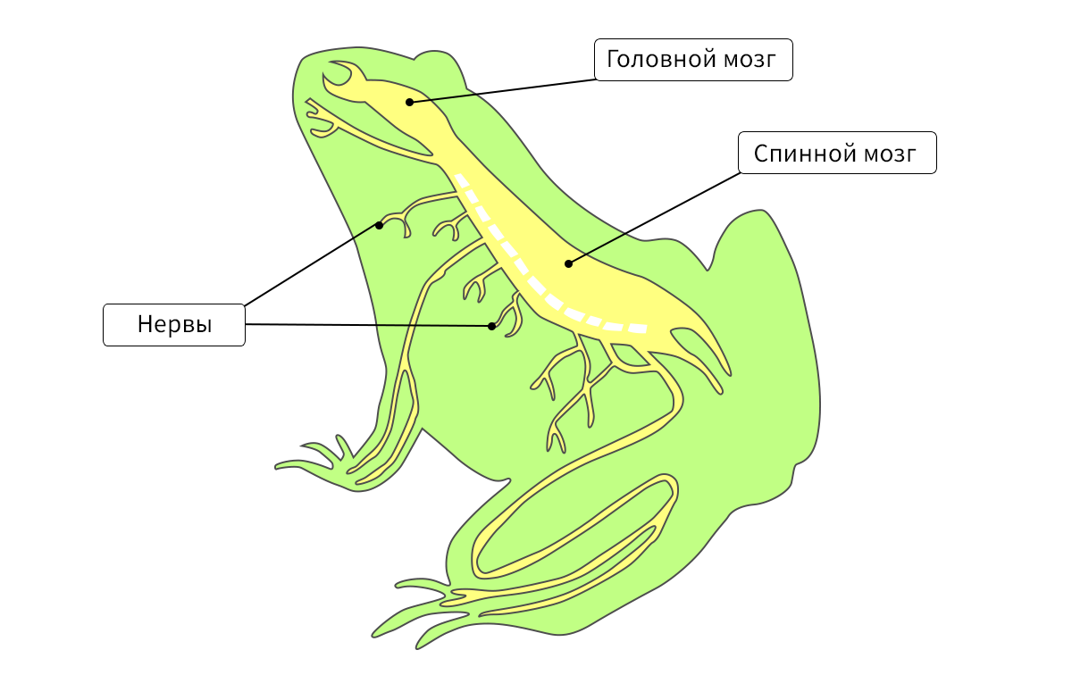 Строение и образ жизни дождевого червя
