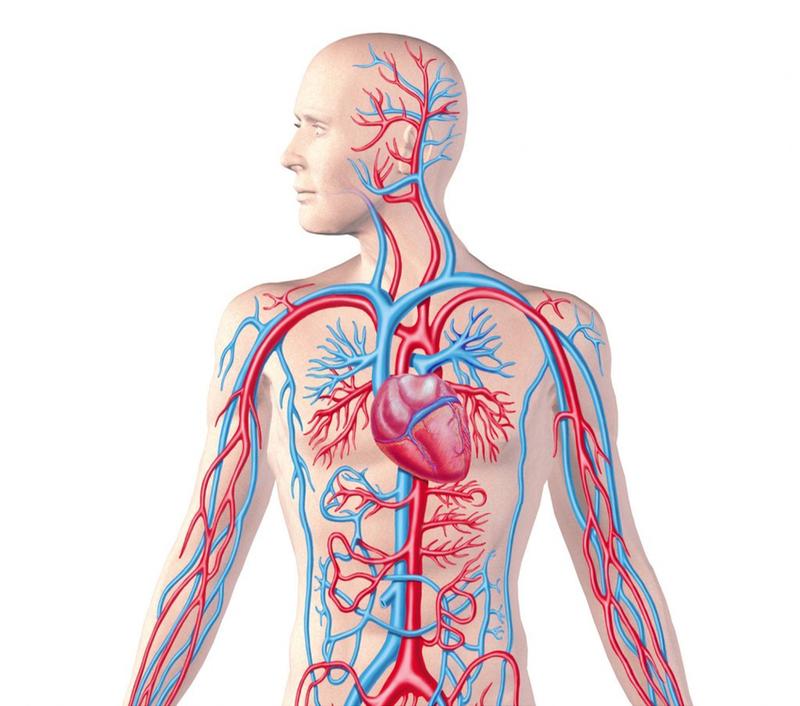 Сердечно-сосудистая система — википедия