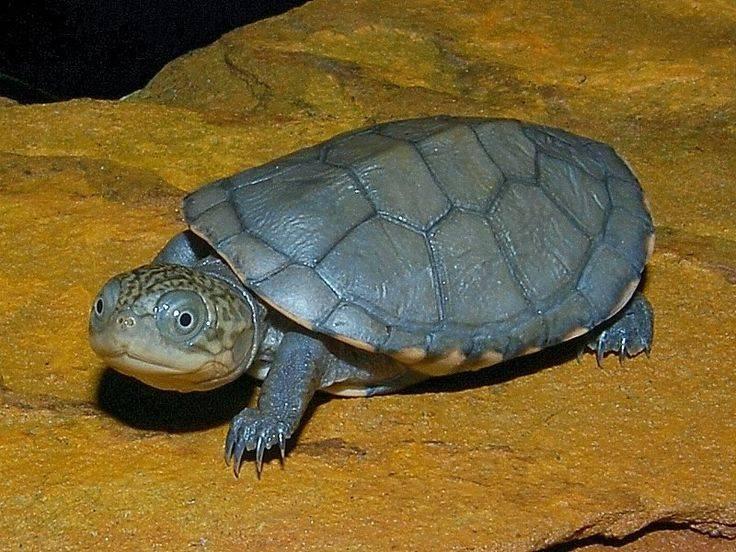 Pelomedusa subrufa (африканская пеломедуза) - черепахи.ру - все о черепахах и для черепах