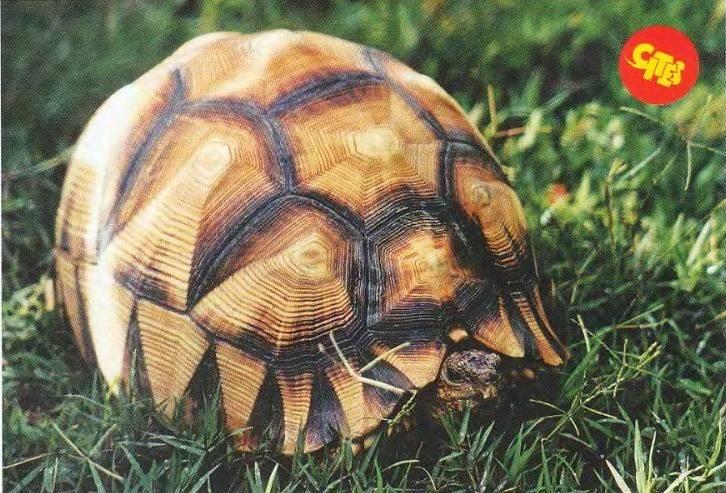 Мадагаскарская клювогрудая черепаха - angonoka tortoise - qwe.wiki