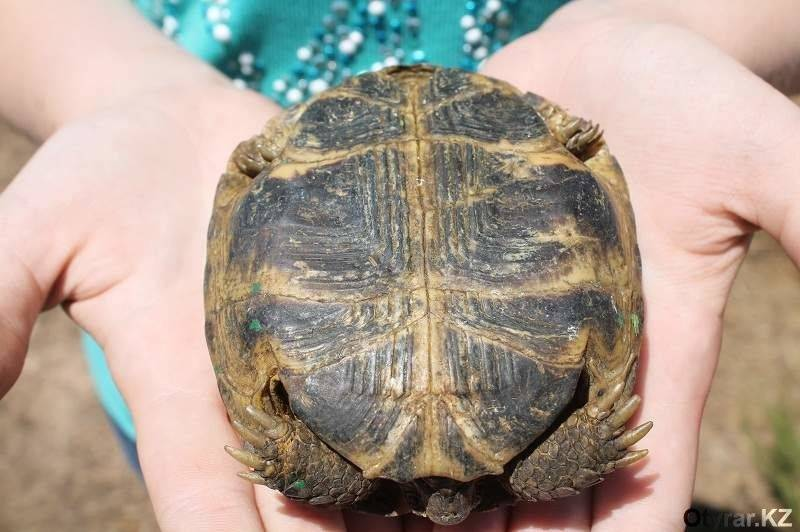 Черепаха красноухая пол
