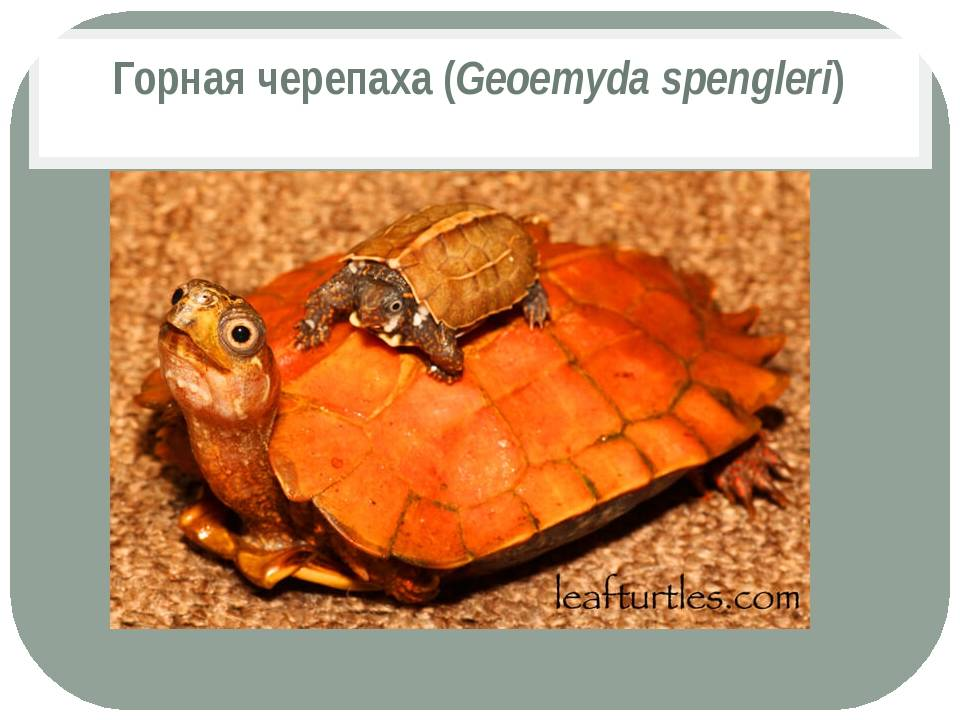 Арктоус японский - arctous japonica - описание таксона - плантариум