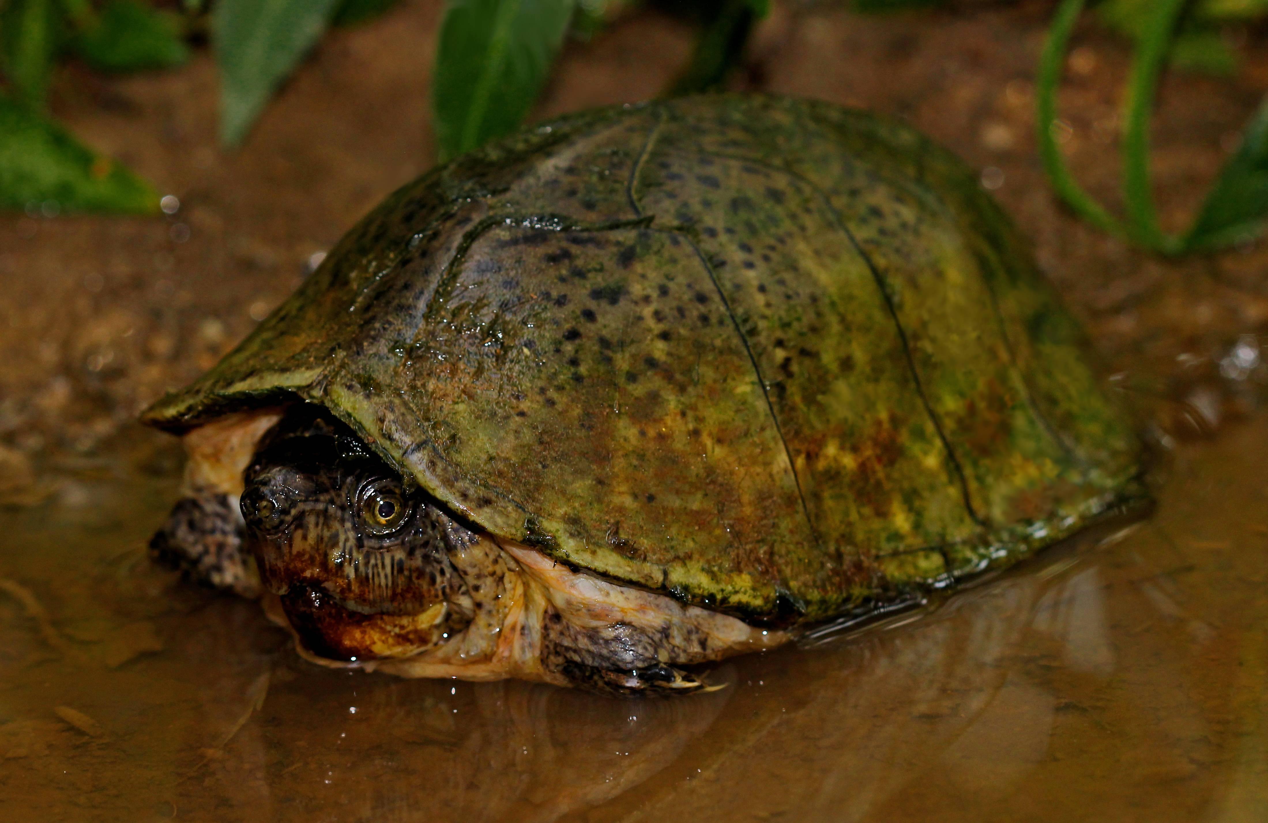 Килеватая мускусная черепаха | что говорят насекомые