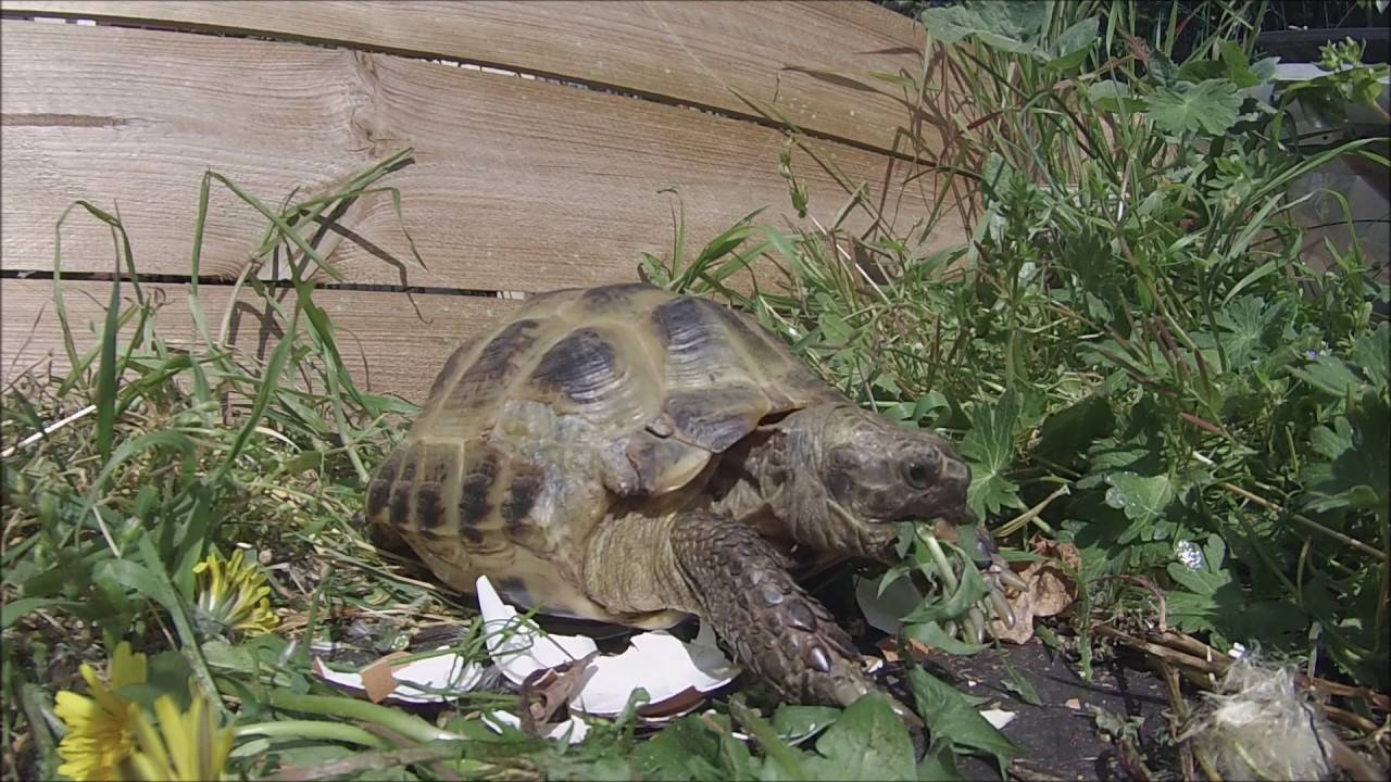 Черепаха среднеазиатская, черепахи (agronemys horsfeeldii), легенда, спячка, суточные фазы активности, террариум, домашнее содержание черепах, размножение, зоопарки, сухопутные черепахи, реферат рептилии пресмыкающиеся