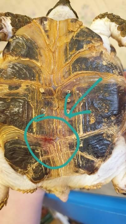Почему панцирь черепахи состоит из шестиугольников?