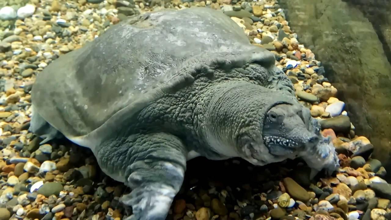Трионикс китайский – черепаха с мягким панцирем