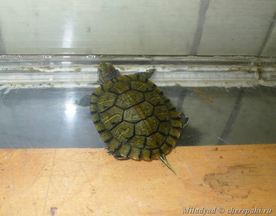 Clemmys guttata (пятнистая черепаха) - черепахи.ру - все о черепахах и для черепах