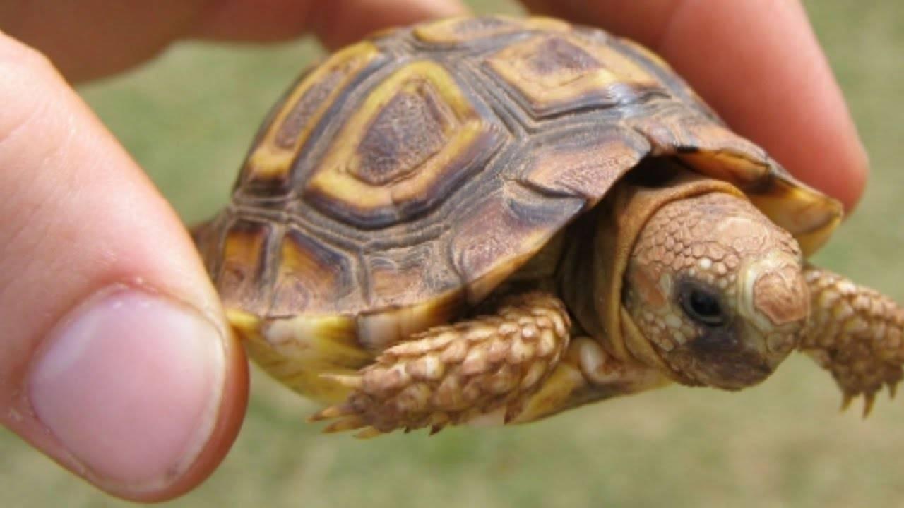 Замыкающиеся черепахи (семейство) википедия