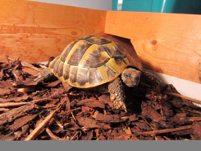 Зимовка черепах
