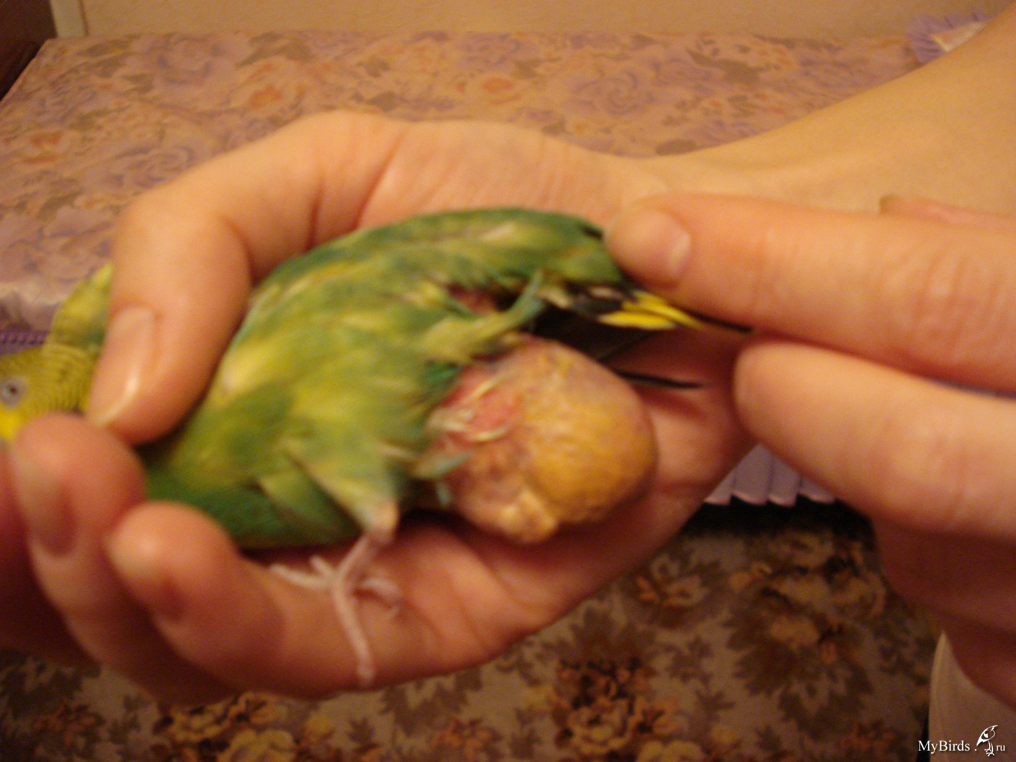 Липома у волнистого попугая, шишка или опухоль
