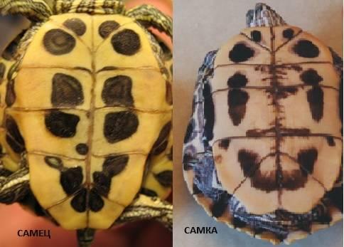Как определить пол и возраст черепахи красноухой?