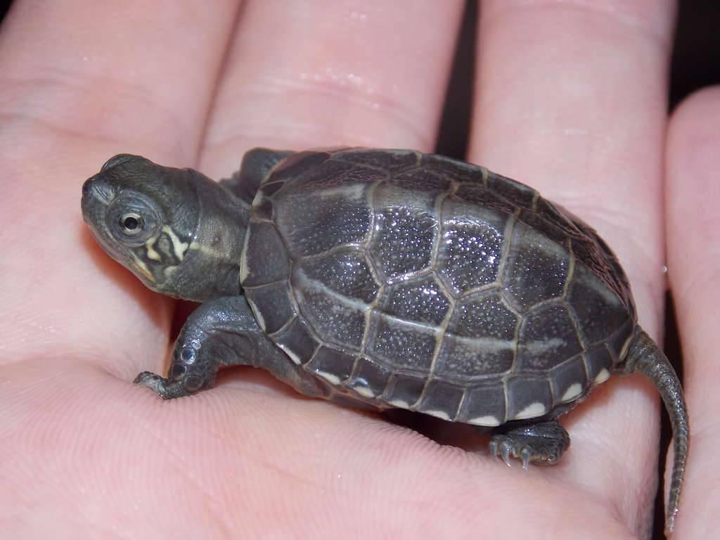 Китайский пруд черепахи - chinese pond turtle