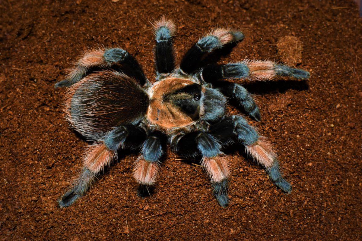 Паук-птицеед: самый крупный паук на планете