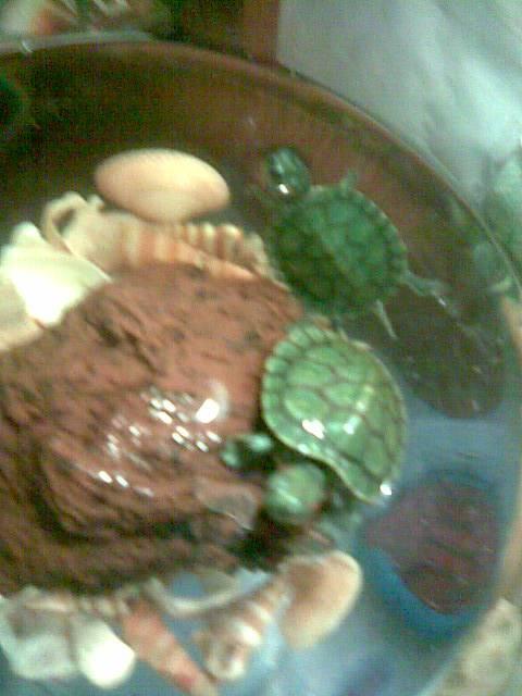 Как понять что красноухая черепаха беременна
