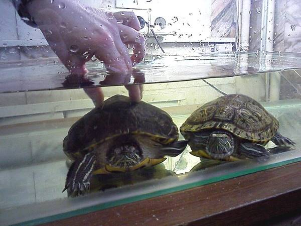 Как мыть красноухою черепаху