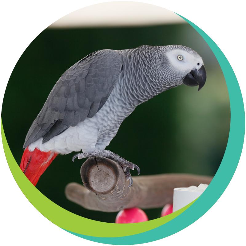Жако: фото и описание серого попугая