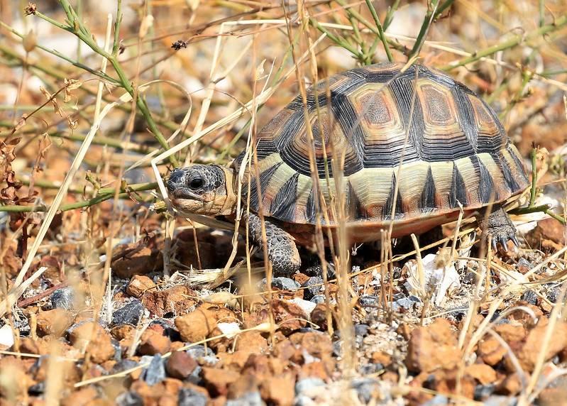 Черепаха - tortoise - qwe.wiki
