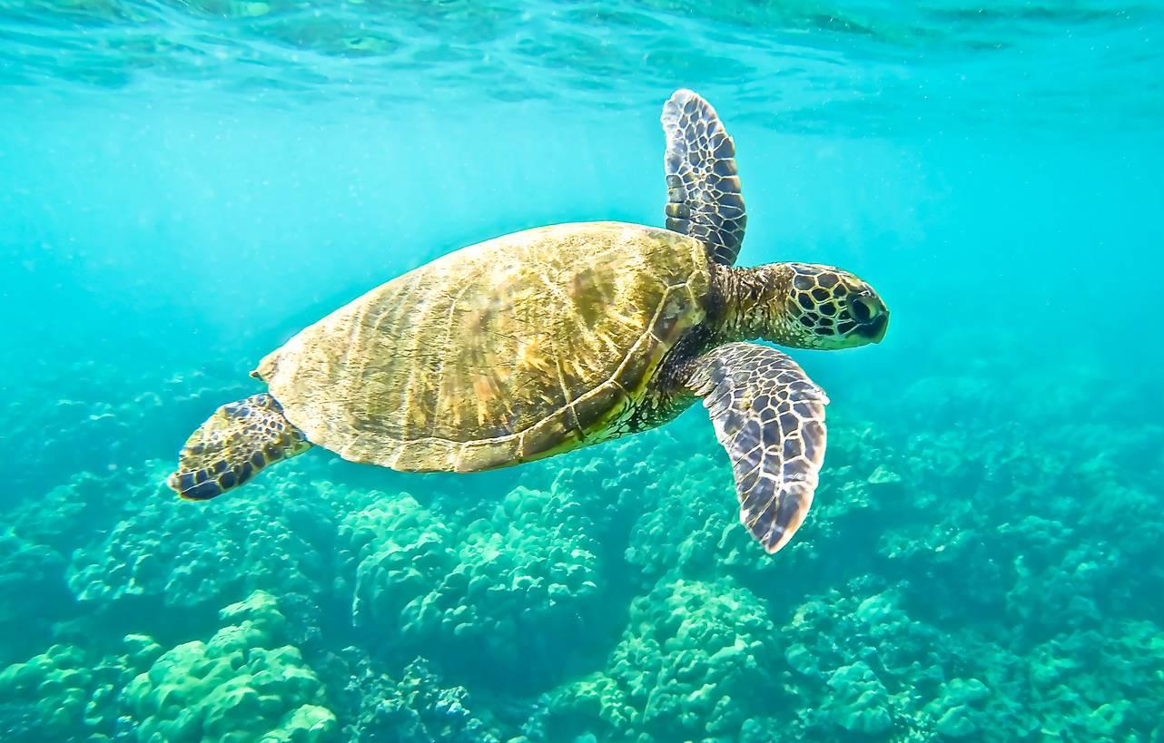 Доклад-сообщение зеленая морская черепаха 2, 3, 4 класс
