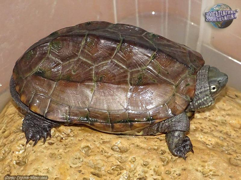 Китайский пруд черепахи - chinese pond turtle - qwe.wiki