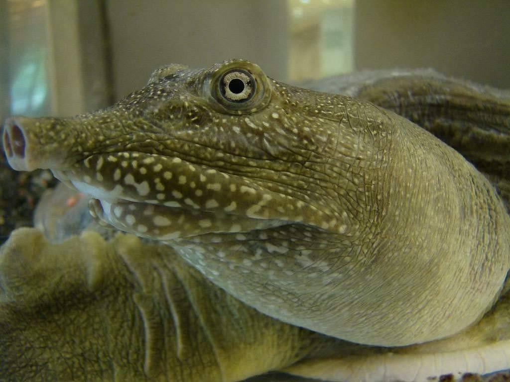 Правильное содержание дальневосточной черепахи или китайский трионикс