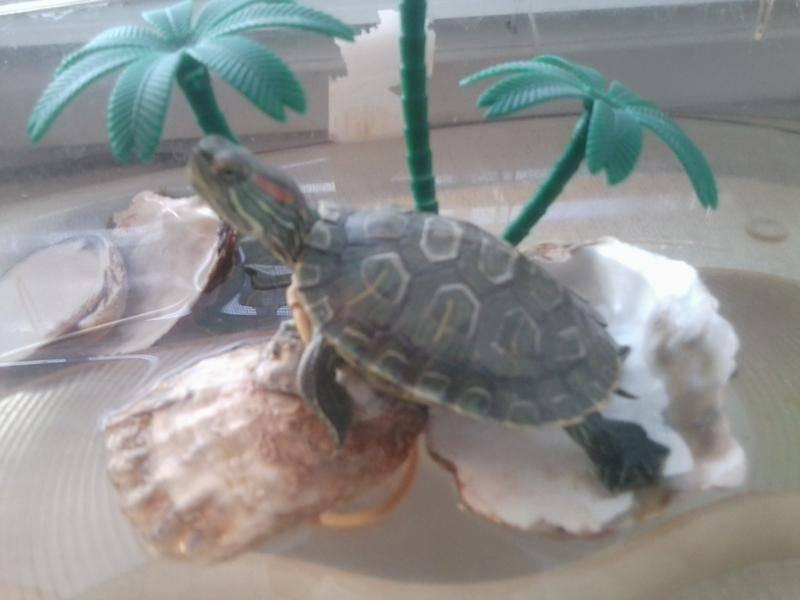 Почему красноухая черепаха пищит