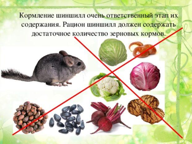Как кормить шиншиллу в домашних условиях: что можно есть, а что — нельзя
