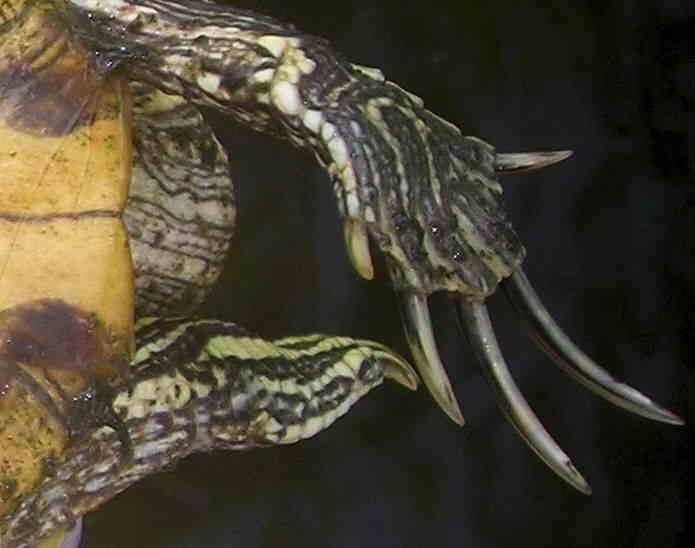 Как определить пол красноухих черепах?