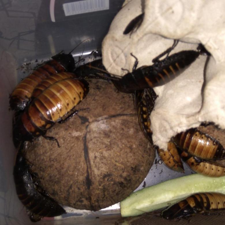 Мадагаскарский таракан в роли домашнего питомца