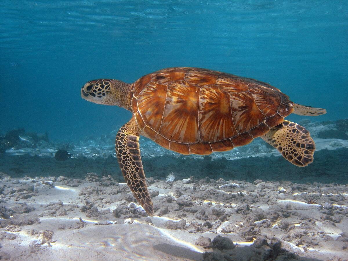 Зелёные черепахи википедия