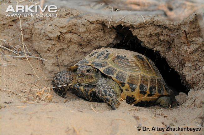 Как выглядит черепаха в спячке. красноухая черепаха - анабиоз