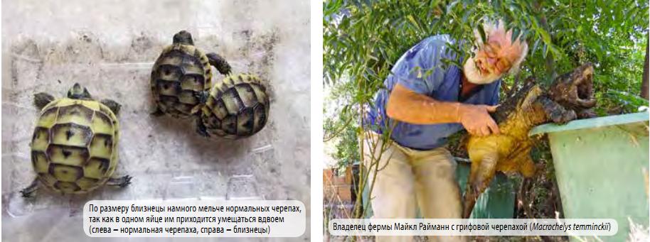 Греческая черепаха (средиземноморская черепаха) — статьи — rex24.ru: домашние животные, выбор, уход и воспитание, каталог компаний, эксперты.