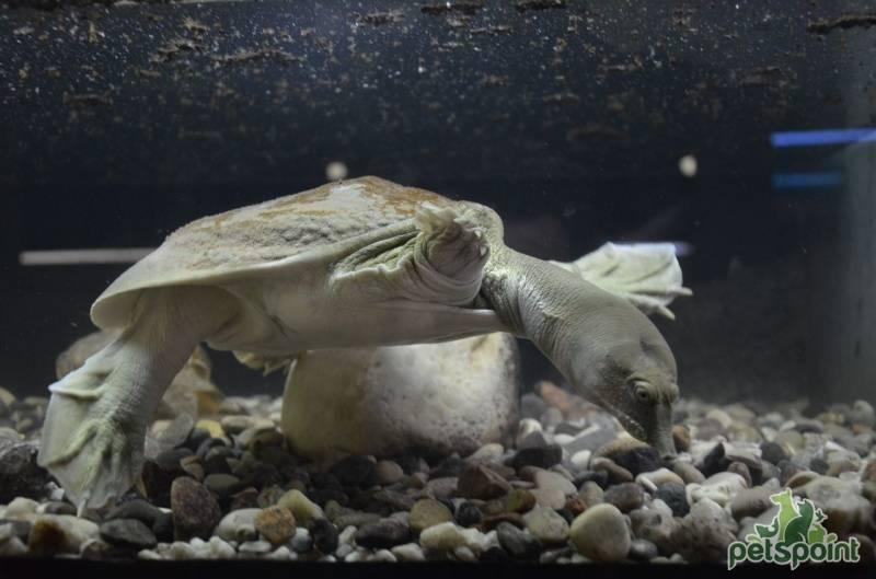 Дальневосточная черепаха - вики