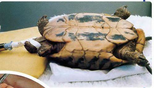 Болезни сухопутных черепах